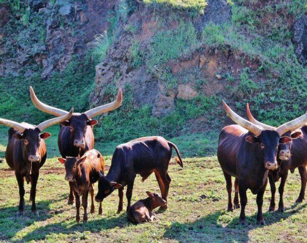 Watusis en el parque de la naturaleza de Cabárceno en Cantabria