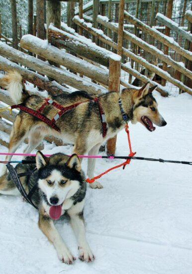 Trineo de perros huskys en Santa Claus Village en Rovaniemi