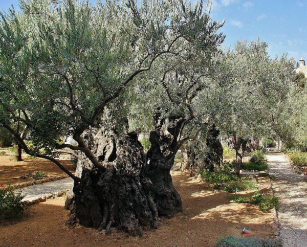 Olivos milenarios en el Huerto de Getsemaní en Jerusalén