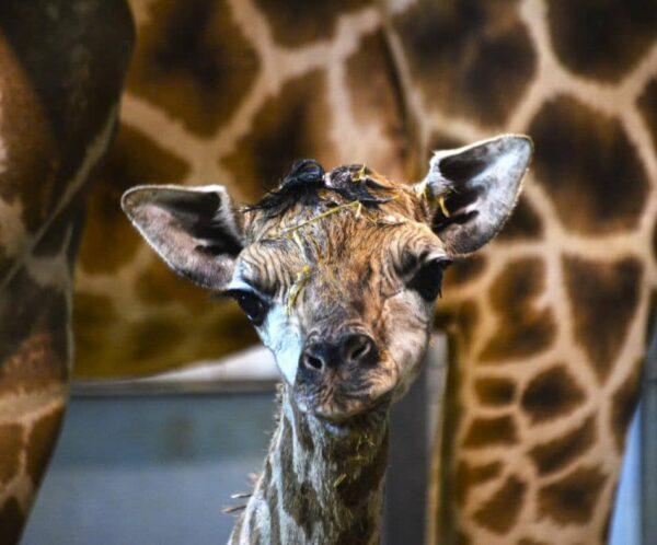 Bebé jirafa Baringo en BIOPARC Valencia