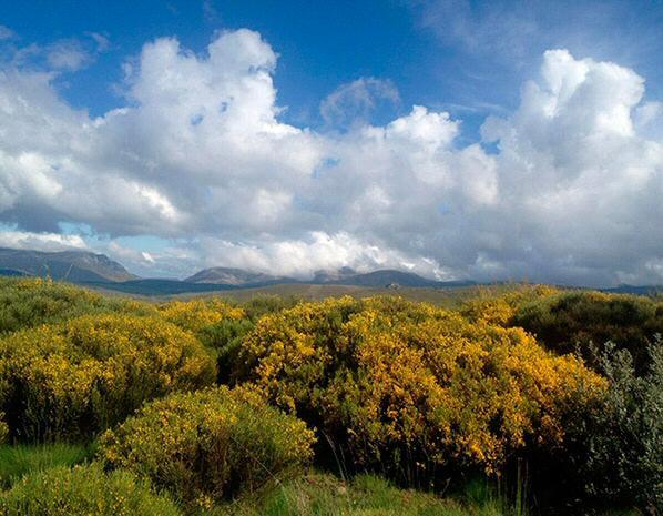 Piornos en flor en Sierra de Gredos @Foto: Turismo Gredos Norte