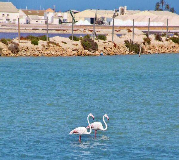 Flamencos en las Salinas del Mar Menor en Murcia