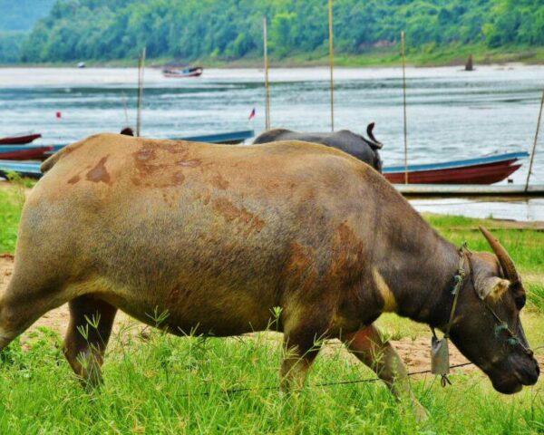 Búfalo de Agua en Laos