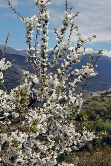 Cerezos en flor en el Valle del Jerte en Cáceres en Extremadura