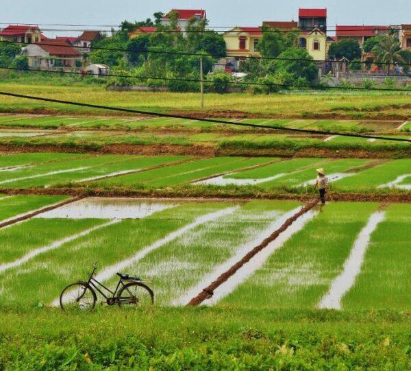 Arrozales en Vietnam