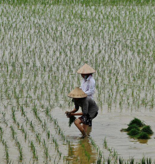 Arrozales cerca de la Bahía de Halong en Vietnam