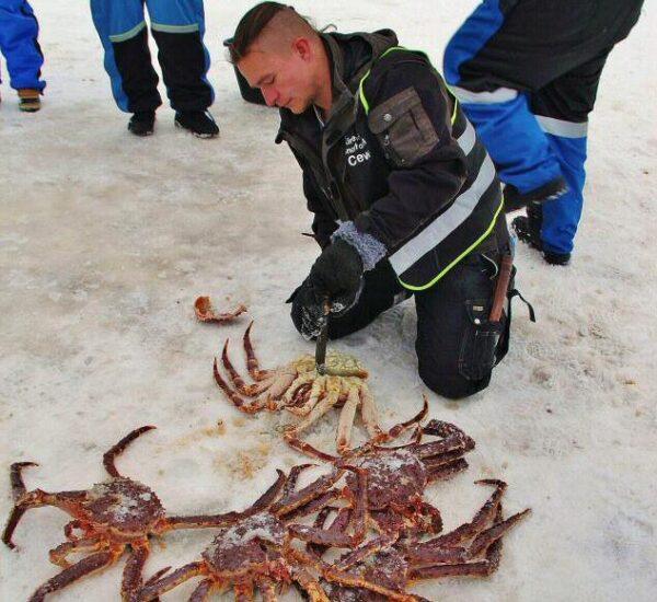 Safari del cangrejo real en invierno en Laponia Noruega