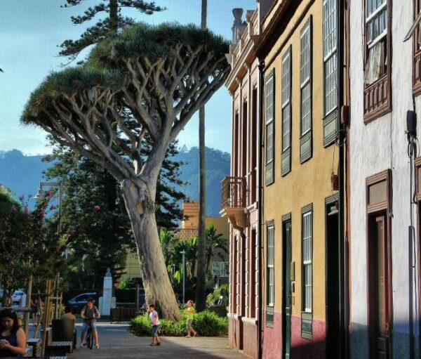 Drago en el centro histórico de La Laguna en Tenerife