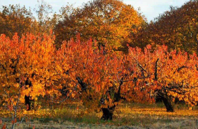 Coloridos cerezos en los paisajes de otoño del Valle del Jerte