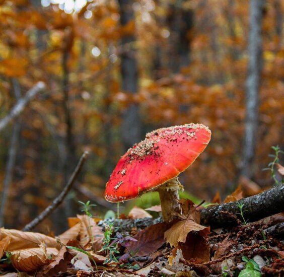 Setas en el Valle del Jerte en otoño