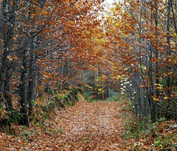 Paisaje de otoño de un castañar en el Valle del Jerte