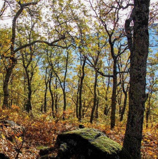 Paisajes de otoño en un robledal del Valle del Jerte