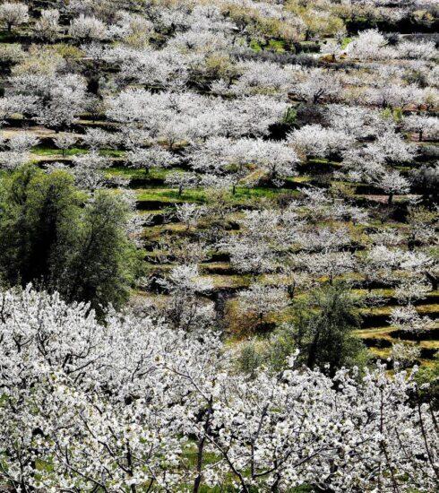 Extremadura Valle Jerte Cerezos 007 490x550