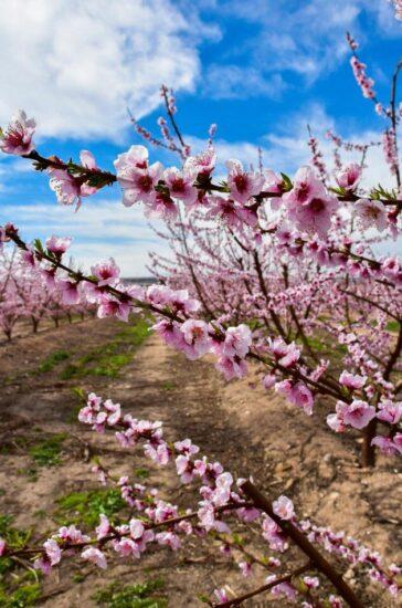 Campos de frutales en flor en Aitona en Lleida