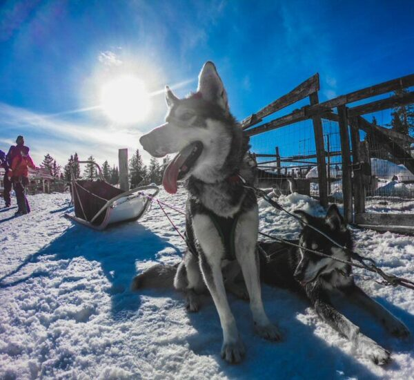 Huskies en Ruka