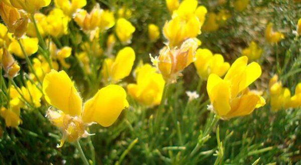Piornos en flor en la Sierra de Gredos al sur de Ávila