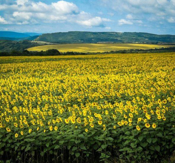 Paisaje con campos de girasol en Bulgaria