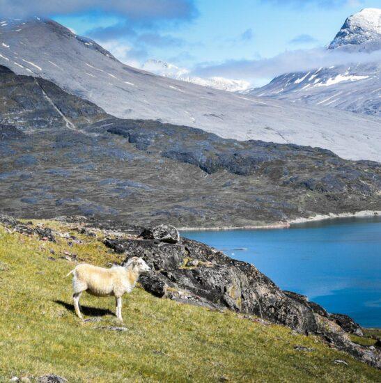 Oveja en Groenlandia
