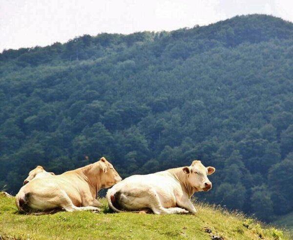 Vacas pirenáicas en Irati en los Pirineos de Navarra