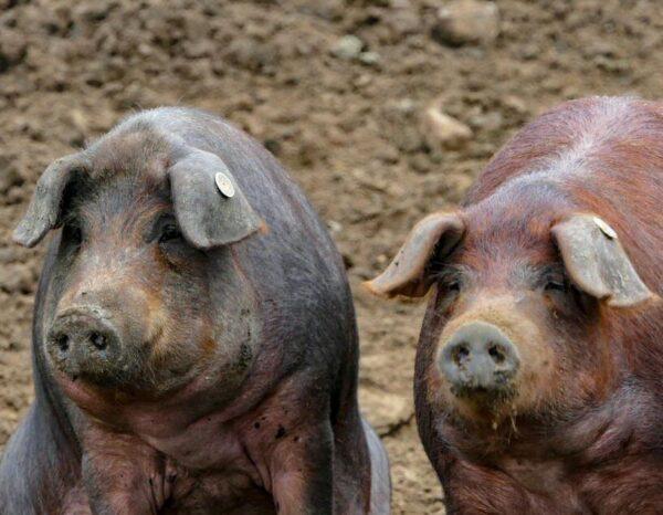 Cerdos ibéricos en la dehesa de Extremadura en Lago Alqueva