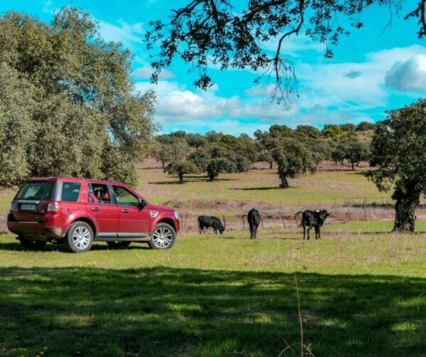 Safari de toros bravos en zona del Lago de Alqueva en Extremadura