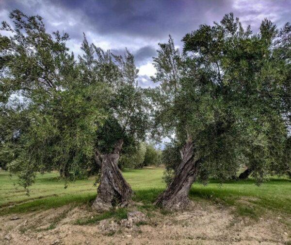 Olivo en la provincia de Jaén en Andalucía