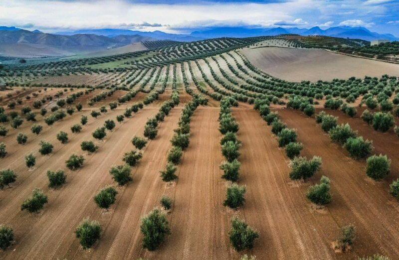 Paisajes de olivos en la provincia de Jaén en Andalucía
