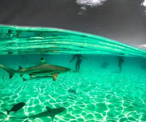 Tiburones en Moorea en Polinesia Francesa