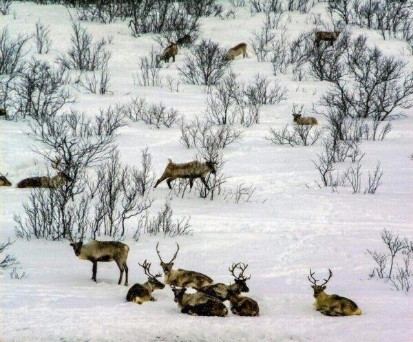 Rebaño de renos en Laponia al norte de Noruega