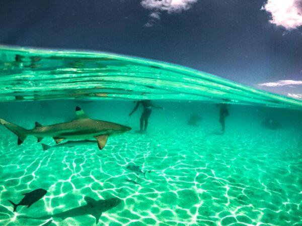Tiburones en la barrera de coral de Moorea