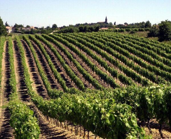 Viñedo de Fronton cerca de Toulouse @Foto: Maison des vins Fronton
