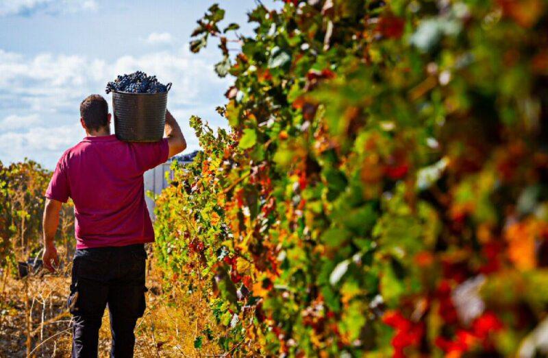 Viñedos de Bodegas Franco-Españolas en Logroño en La Rioja