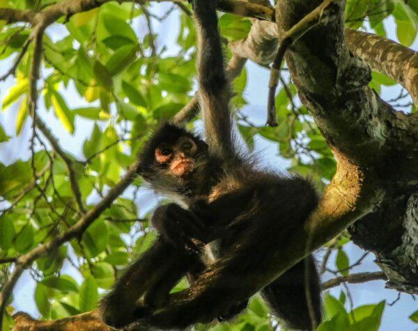 Mono araña en Grand Palladium Hotel & Resorts en Riviera Maya