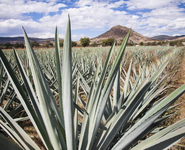 Plantaciones de maguey cerca de Oaxaca en México