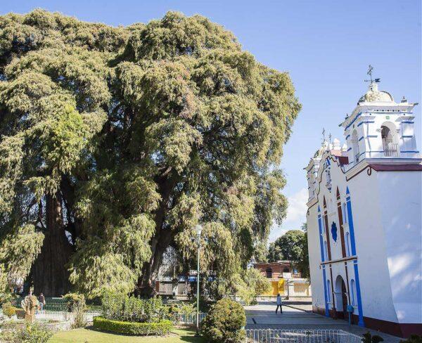 Gran árbol milenario El Tule cerca de Oaxaca en México
