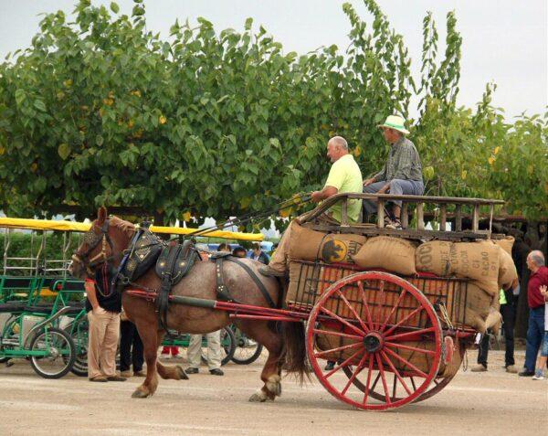 Fiesta tradicional de la siega del arroz en el Delta del Ebro
